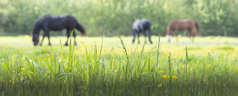 Horses grazing on spring grass.