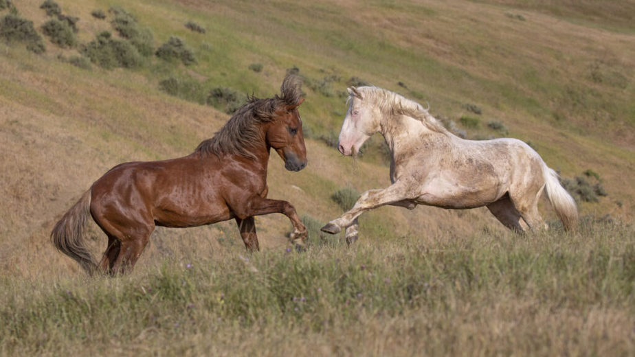 Two mustangs fighting in the wild.
